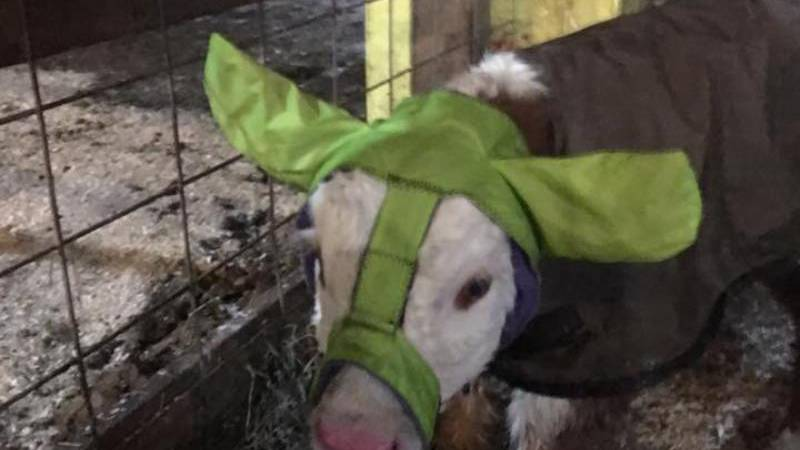 The idea behind Moo Muffs came after Poad's family lost their barn in a fire. She was looking...
