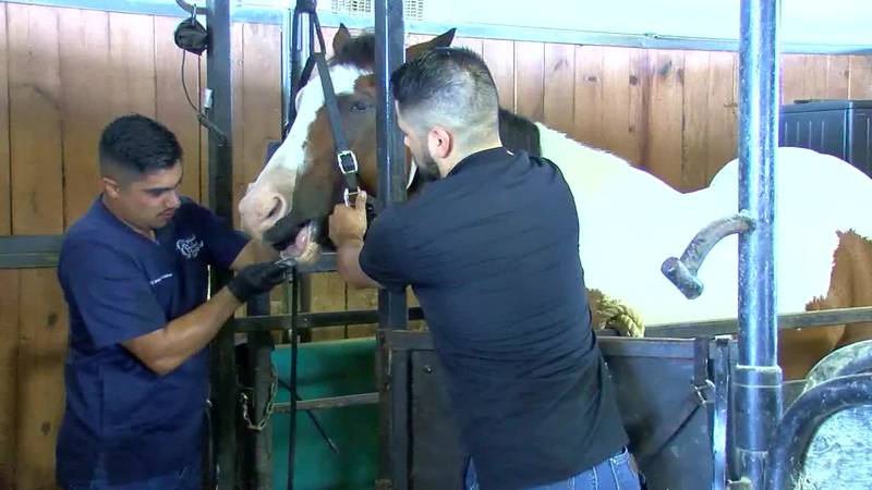 A horse gets its teeth cleaned at the SFA Equine Center.