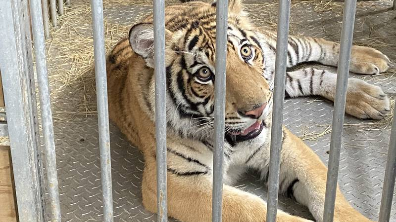 Tiger named India goes to Black Beauty Ranch