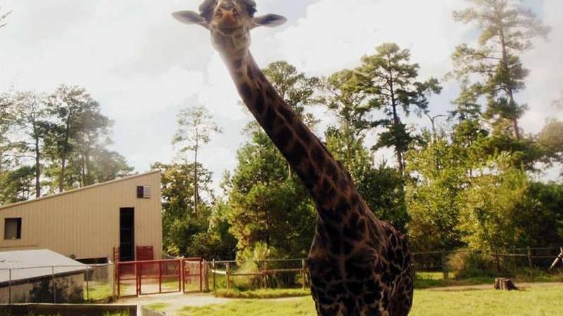 Photo of Rafiki. (Photo Source: Ellen Trout Zoo.)