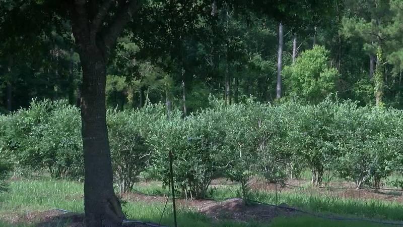 Fruits of Diboll farm's labor provides for Blueberry Festival