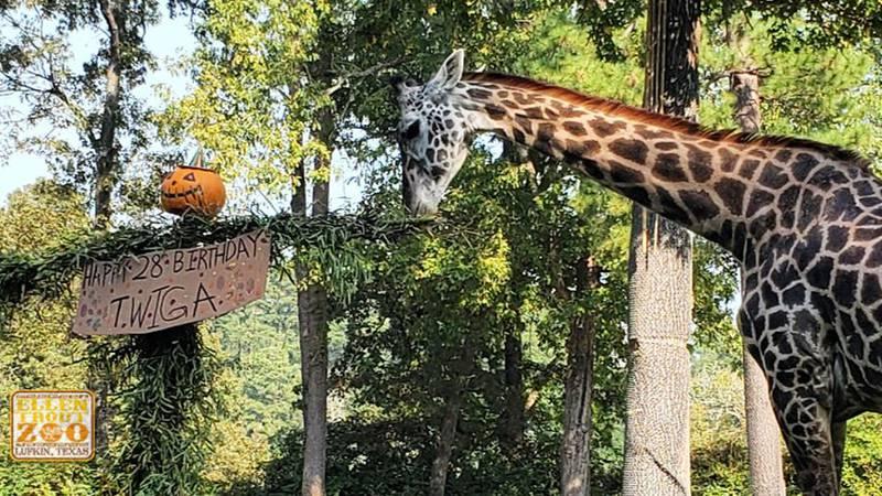 Twiga the Giraffe celebrates 28th Birthday