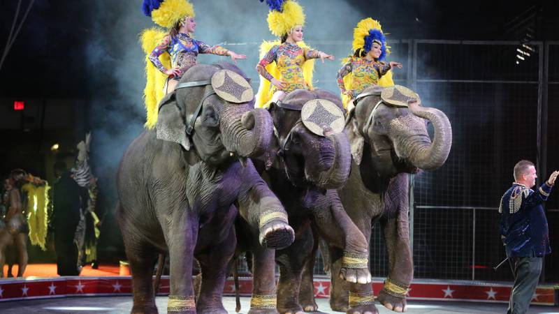 Joey Frisco leading his trio of elephants at the Carden International Circus.