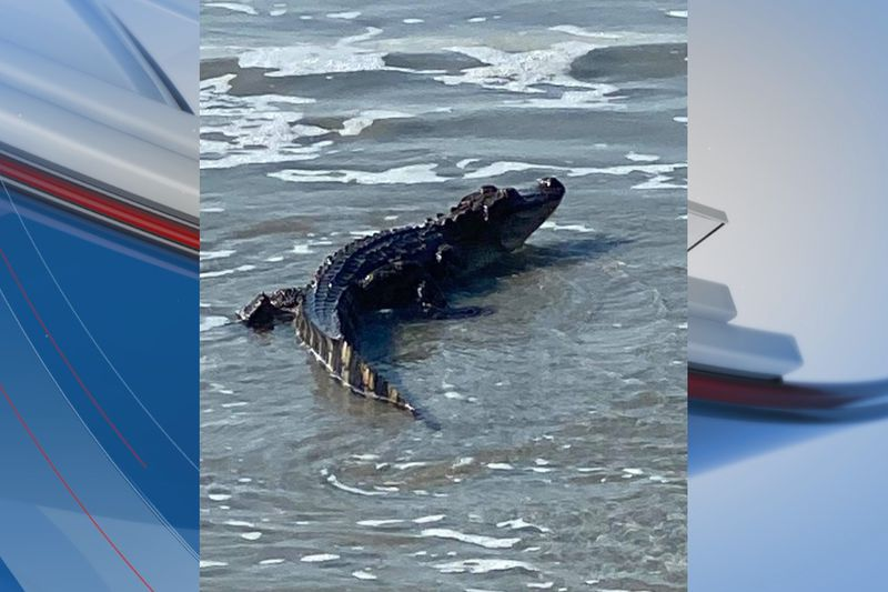 An alligator was seen in the ocean around the Compass Cove Resort in Myrtle Beach Friday morning.