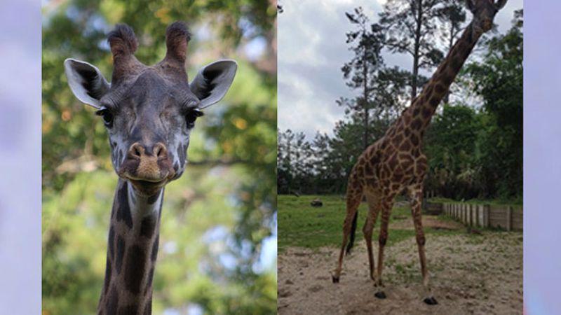 Kamili, a Maasai giraffe at the Ellen Trout Zoo in Lufkin, died while she was giving birth to a...