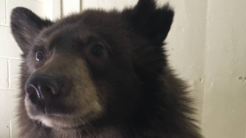 Amarillo Zoo receives new female bear cub  (Source: City of Amarillo)