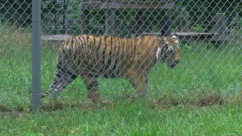 India the tiger inside his new home at the Cleveland Amory Black Beauty Ranch in Murchison.