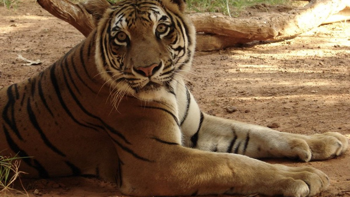 Bengali has outlived all other tigers in captivity.